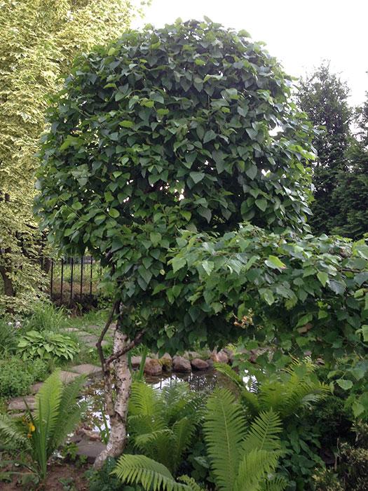 березка: формирование, обрезка, ограничение высоты, садовые бонсаи