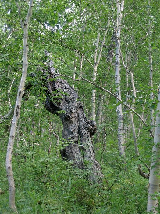 формирование берёз, берёзы в лесу, лесная берёза на участке