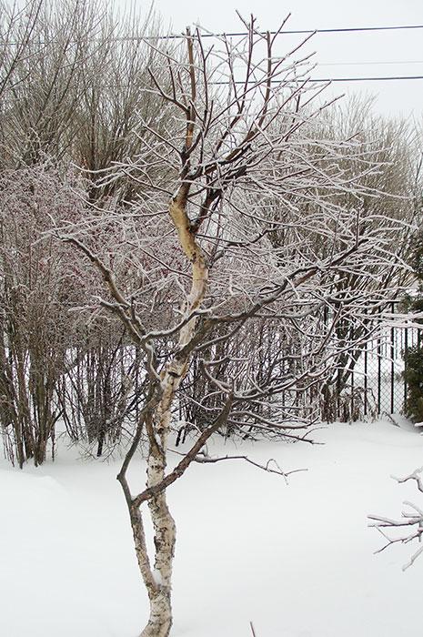 формирование берез, садовый бонсай из берёзы, берёза на участке зимой