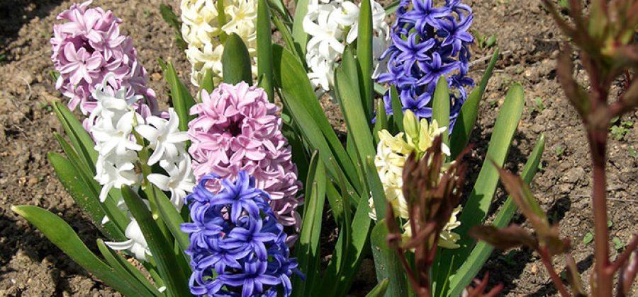 Как ухаживать за цветущим в саду гиацинтом