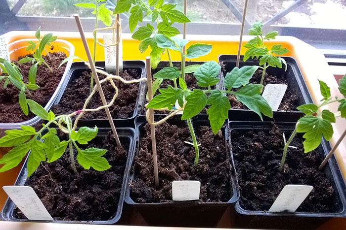 рассада томатов, как притормозить рост рассады, удаление семядолей