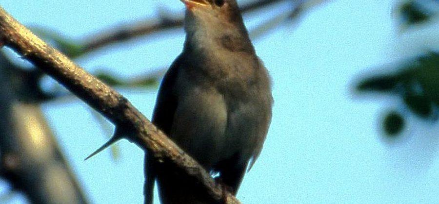 Перелётная птица соловей в природе и в неволе