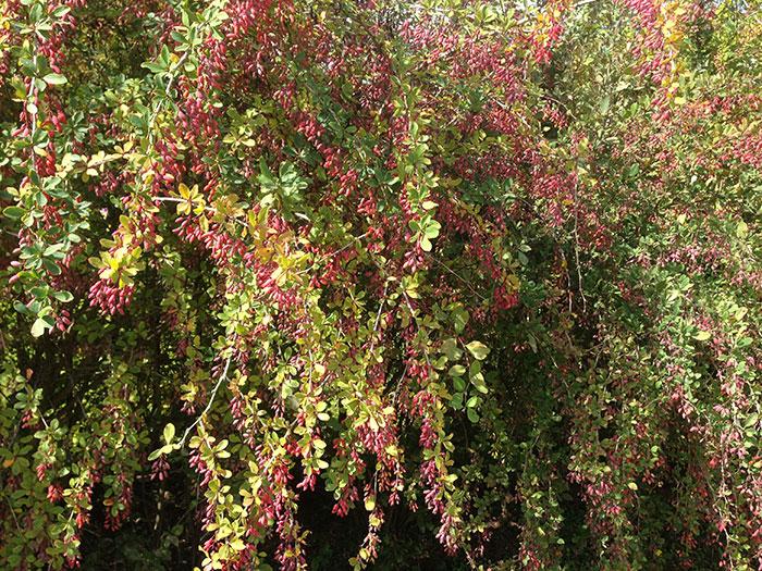 барбарис обыкновенный, живая изгородь из барбариса, плоды барбариса