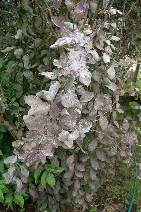 живая изгородь из барбариса, налёт мучнистой росы на листьях барбариса