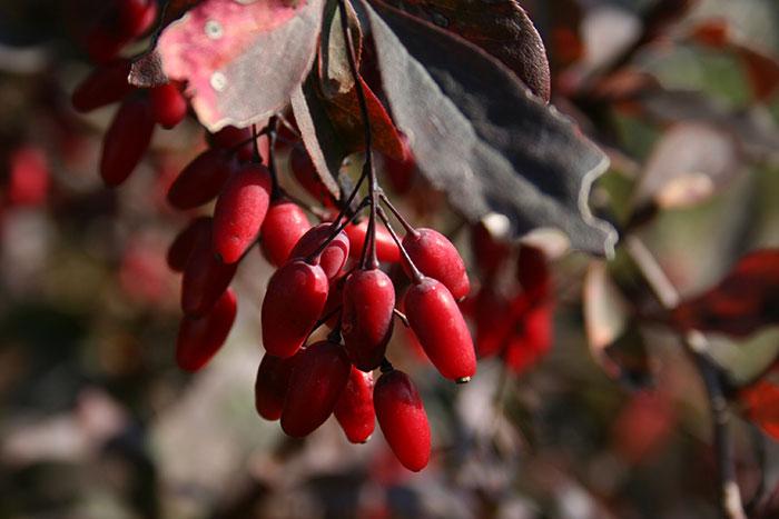 плоды барбариса, живая изгородь из барбариса