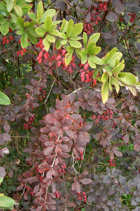 окраска листьев барбариса обыкновенного, живая изгородь из барбариса обыкновенного