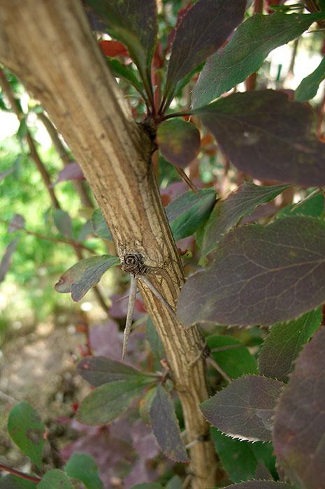 колючки барбариса, живая изгородь из барбариса