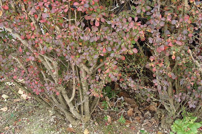 живая изгородь из барбариса, нижний ярус куста барбариса