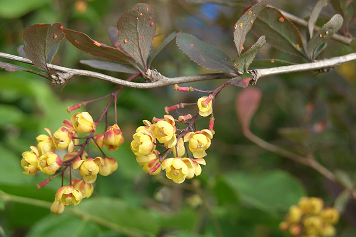 Живая изгородь из барбариса, пятна ржавчины на листьях, цветки барбариса