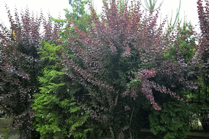 краснолистная форма Atropurpurea с тёмно-пурпурными листьями,, живая изгородь из барбариса