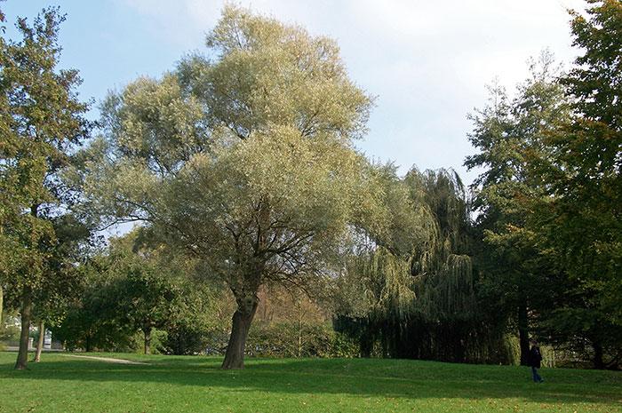 дерево ивы белой