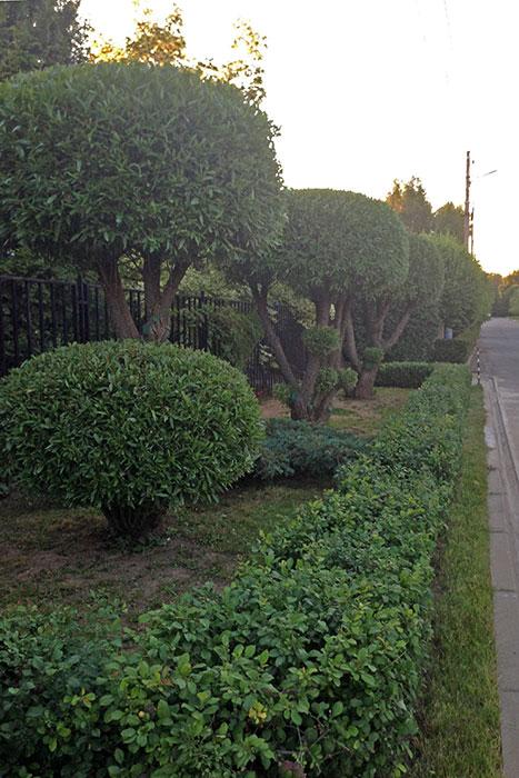 ива ломка, формирование кроны ивы ломкой, садовый бонсай из ивы ломкой