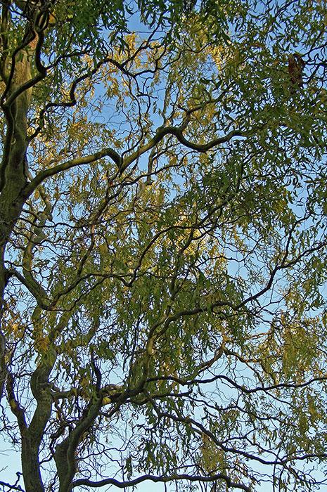 ива извилистая, искривлённые ветви ивы извилистой