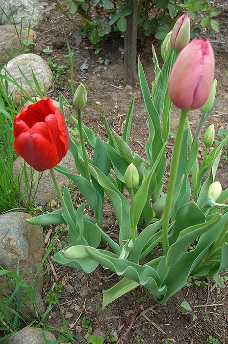 тюльпан в корзинке для луковичных, тюльпан после окончания цветения