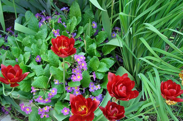 тюльпан в цветнике, отцветшие тюльпаны