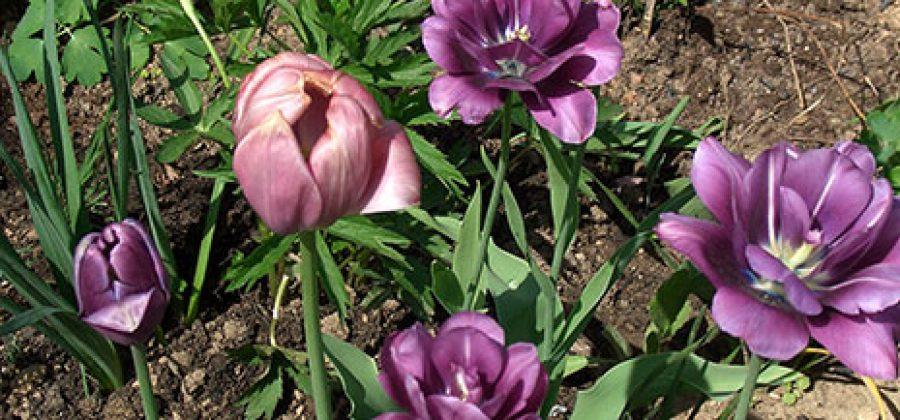 Что делать с тюльпанами, когда они отцвели?