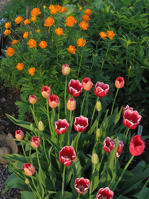 тюльпан на участке, тюльпан после окончания цветения