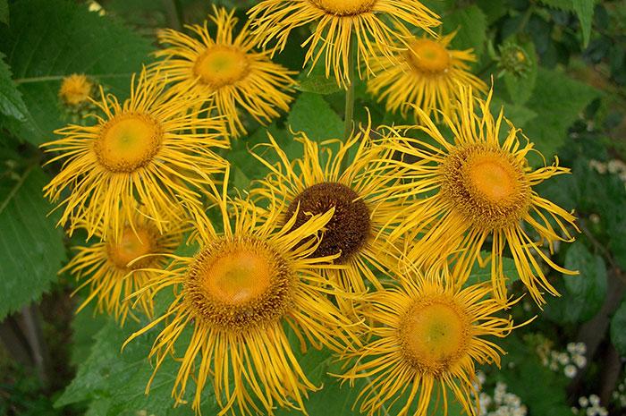 соцветия девясила великолепного, виды девясила, золотые ромашки