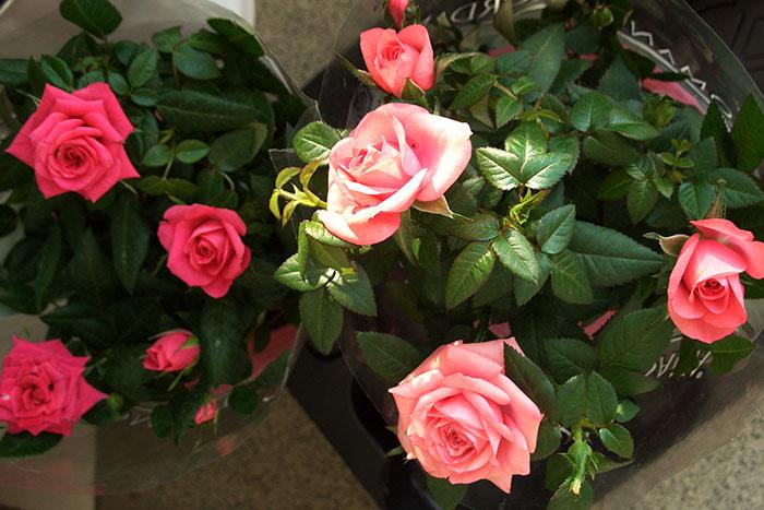 разнообразие горшечных роз, отечественные розы в горшках