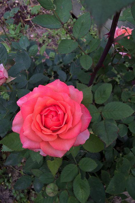 горшечная роза в открытом грунте, розы в горшках