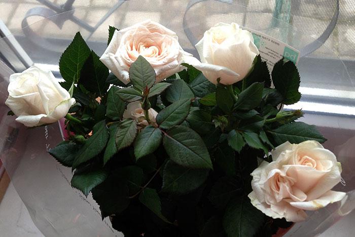 крупные цветки горшечной розы, цветки розы в горшке