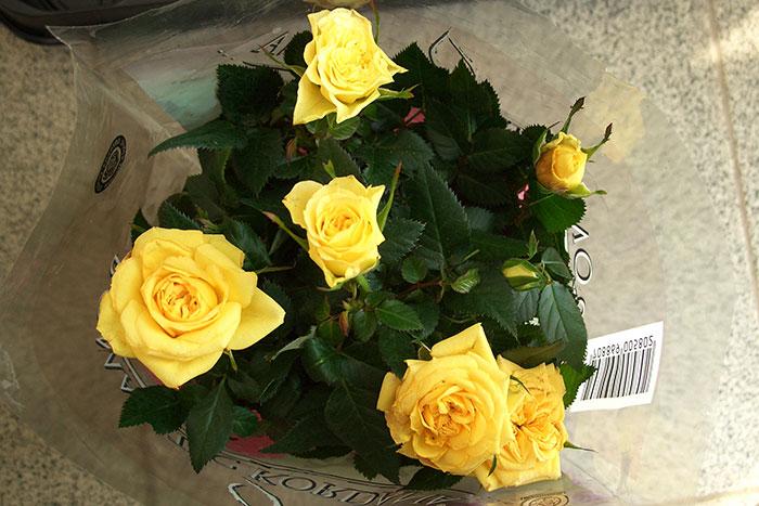 цветки горшечной розы жёлтого цвета