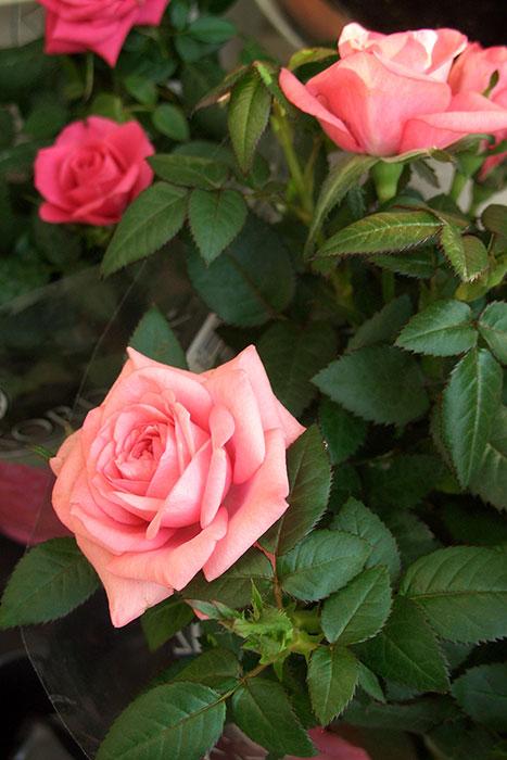горшечные розы, розы в горшках в открытом грунте