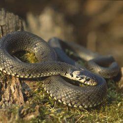 Что делать, если укусила гадюка или неядовитая змея?