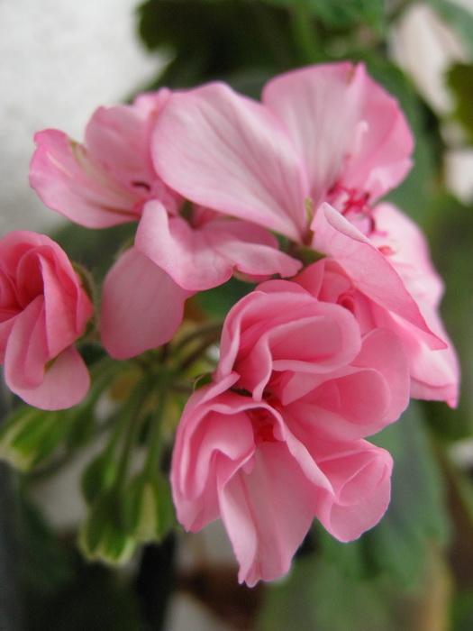 розовые цветки зональной пеларгонии, цветки комнатной герани