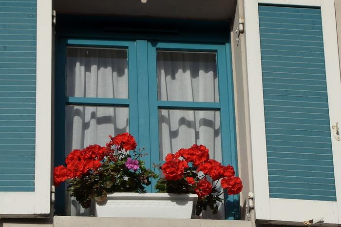 пеларгония, комнатная герань, пеларгония в балконном ящике, комнатная герань летом на улице