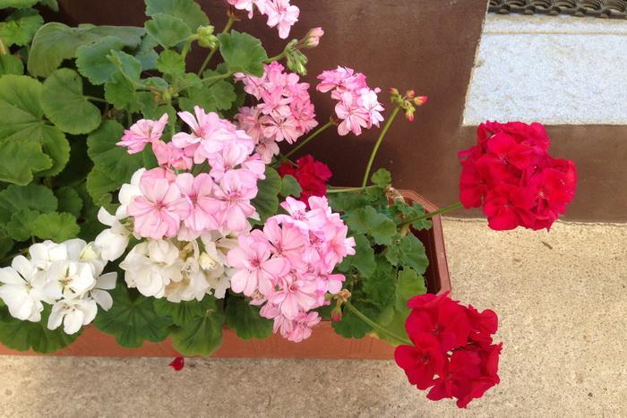 комнатная герань в балконном ящике, белые, красные и розовые цветки зональной пеларгонии
