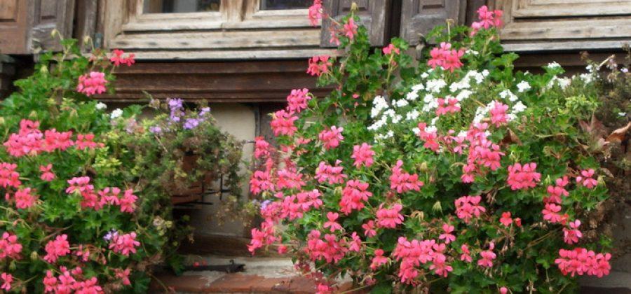 Пеларгония, или комнатная герань, в цветнике, на балконе и в подвесной корзине