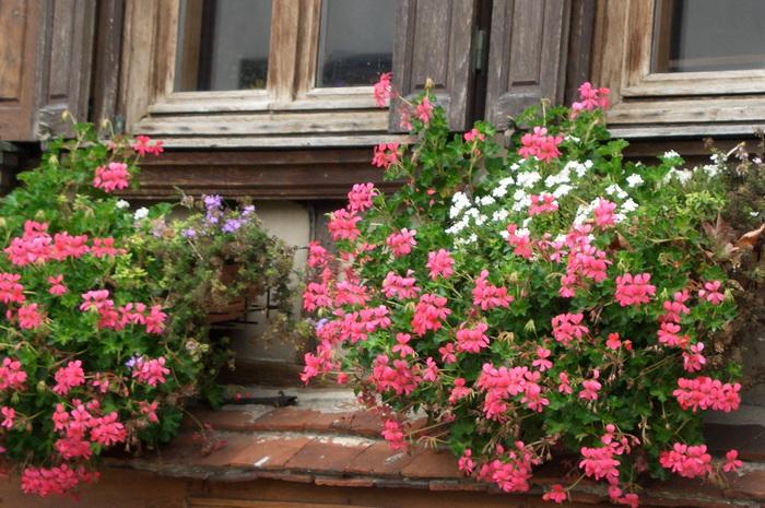 пеларгония в балконном ящике, пеларгония за окном, пеларгония украшает дом