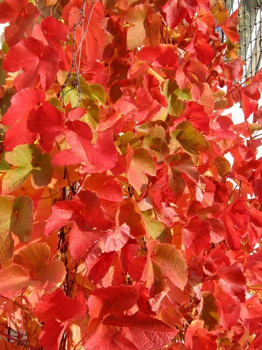 Листья амурского винограда осенью, почему краснеют листья амурского винограда осенью