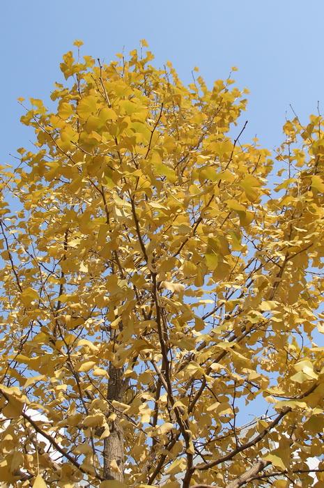 листья гинкго осенью, почему желтеют листья осенью, листопадное дерево гинкго