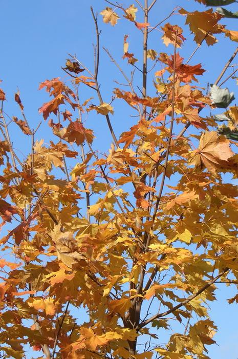 золотая осень, листопад, почему желтеют листья осенью, листья клёна