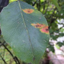 Ржавчина: оранжевые пятнышки на листьях груши и засыхающая хвоя можжевельника