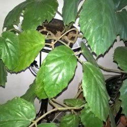 Тетрастигму Вуанье (комнатный виноград) легко вырастить дома даже в небольшой комнате