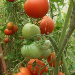 Дозаривание помидоров в домашних условиях как способ сохранения урожая