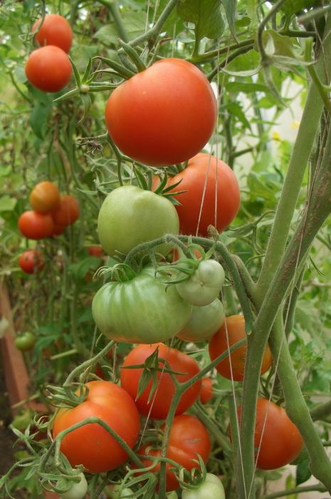 дозаривание томатов, что делать с зелёными помидорами, озревание помидоров, сбор томатов в конце лета и осенью