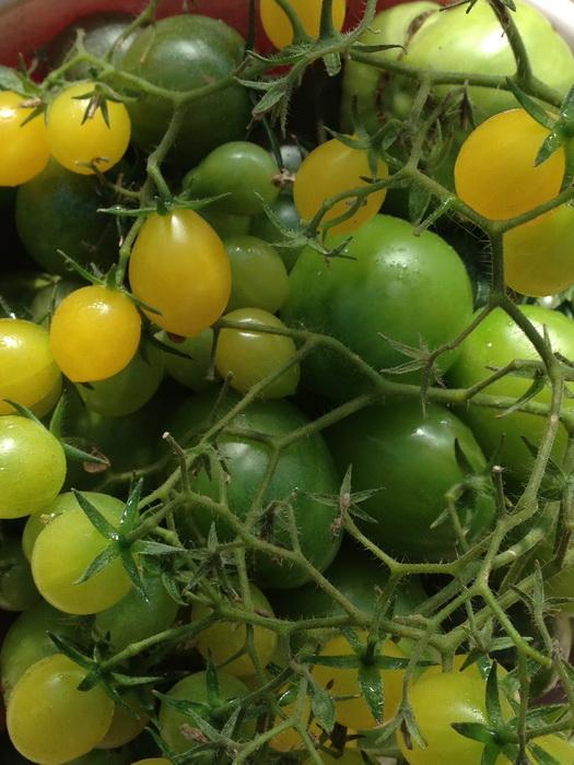 дозаривание зелёных томатов, дозревание зелёных помидоров, сбор томатов осенью