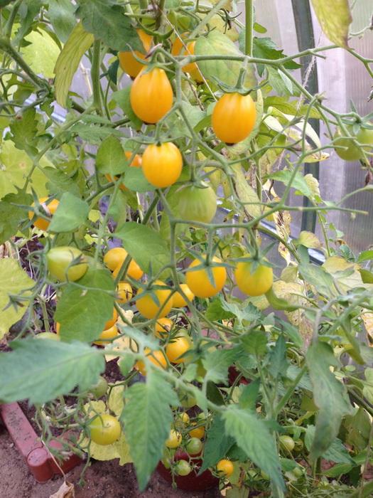 дозаривание томатов, куст с зелёными плодами, дозревание помидоров на кусте