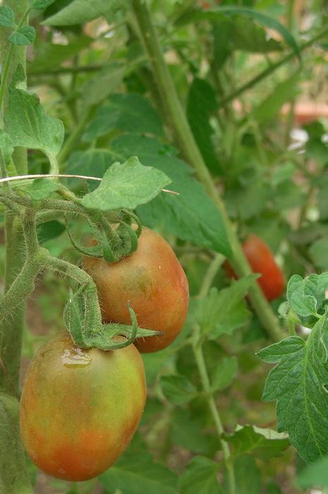дозревание томатов, как сохранить урожай помидоров, дозаривание томатов