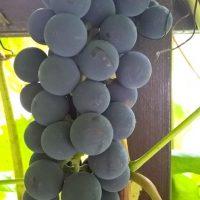 Сорт винограда «Альфа»: описание, выращивание, использование и подготовка к зиме