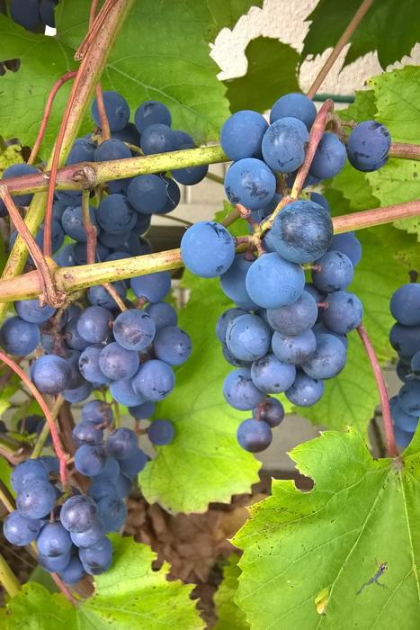 """урожай винограда сорта """"Альфа"""", выращивание винограда сорта """"Альфа"""""""
