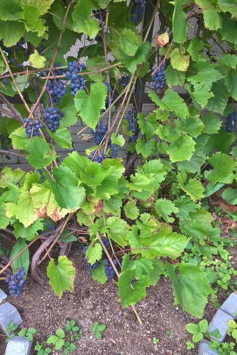 """сбор урожая винограда сорта """"Альфа"""", уход за виноградом сорта """"Альфа"""""""