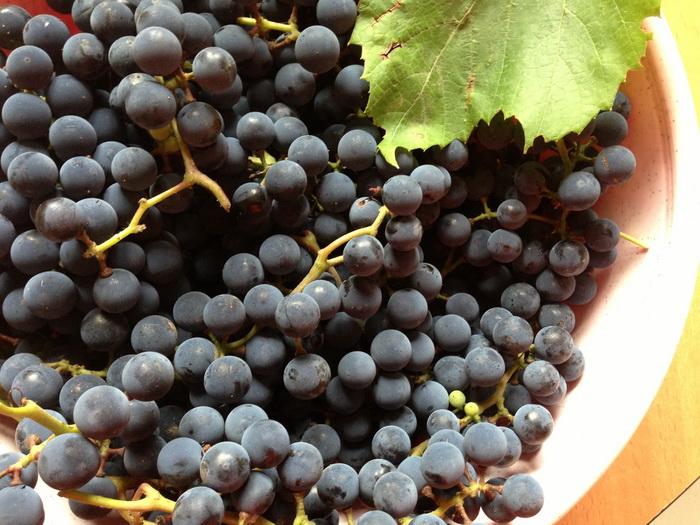 """ввиноград сорта """"Альфа"""": выращивание, озеленение, размножение, урожай ягод винограда сорта """"Альфа"""""""