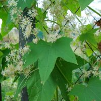 Стоит ли выращивать на участке «бешеный огурец»?