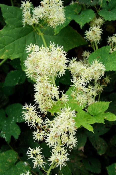 ц цветки эхиноцистиса лопастного, бешеного огурца, колючеплодника, вертикальное озеленение