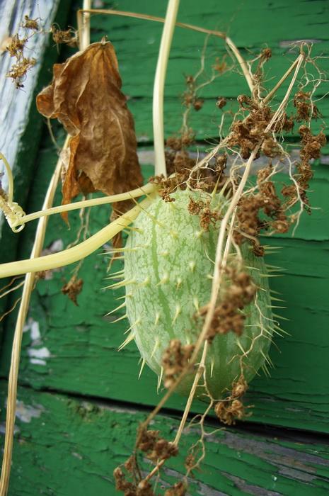 """плод эхиноцистиса лопастного, """"бешеный огурец"""", колючеплодник, вертикальное озеленение"""